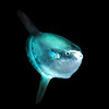 Mola mola<br /> Open water diving, 7 miles off southern California coast.<br /> March 18, 2021