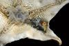Star: Patiria miniata, Bat Star feeding on snail, ventral perspective<br /> White Point Outfall Pipe, Palos Verdes, California<br /> October 4, 2020