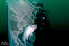 Medusafish & Chrysaora colorata, with Kevin Lee<br /> Catalina Channel<br /> March 14, 2021<br /> Photo: Mike Bartick
