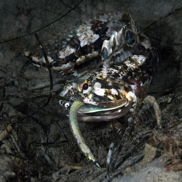 Neoclinus blanchardi, Sarcastic Fringehead, feeding on Syngnathus exilis, Barcheek Pipefish.<br /> La Jolla Shores, California