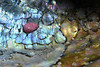 Abalone within an Ab: Haliotis kamtschatkana, Pinto Abalone within a Haliotis fulgens, Green Abalone shell.<br /> Outfall Pipe, White Point, Palos Verdes, California<br /> October 4, 2020<br /> ID thanks to Nancy Caruso