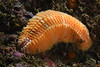 Euphrosine worm<br /> White Point, Outfall Pipe, Palos Verdes, California<br /> September 22, 2020<br /> ID thanks to Leslie Harris