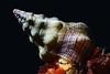 Snail: Kelletia kelletii, Kellet's Whelk<br /> Golfball Reef, Redondo Beach, CA