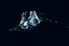 """Okiopleura (tunicate)<br /> Catalina Channel<br /> March 14, 2021<br /> ID thanks to Walter Marti<br /> <a href=""""https://www.latimes.com/california/story/2020-06-07/deep-sea-mucus-larvacean"""">https://www.latimes.com/california/story/2020-06-07/deep-sea-mucus-larvacean</a>"""