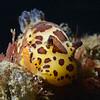 Jorunna pardus, Leopard Dorid<br /> Golfball Reef, Redondo Beach, CA