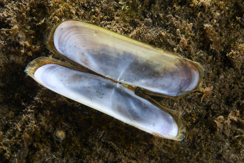 Clam<br /> Willow Cove, Catalina Island, California<br /> January 2, 2021