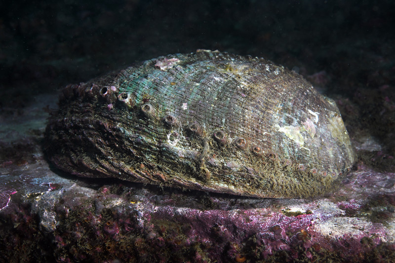 Abalone: Haliotis fulgens, Green Abalone shell (empty), approximately 10 inches long<br /> Outfall Pipe, White Point, Palos Verdes, California<br /> October 4, 2020<br /> ID thanks to Nancy Caruso
