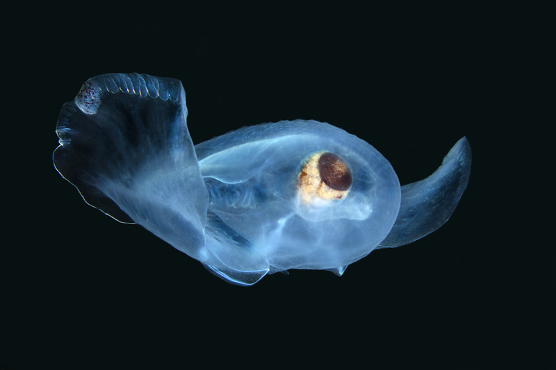 Corolla spectabilis, sea butterfly<br /> Catalina Channel<br /> March 14, 2021