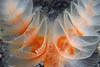 Phoronopsis californica<br /> Willow Cove, Catalina Island, California<br /> November 29, 2020