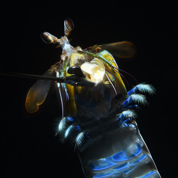 """Step 10: The Mantis Shrimp continued clutching the bait, showing off its underside and delicate, tufted pereopods (walking legs).<br /> Hemisquilla californiensis, Mantis """"Shrimp""""<br /> Willow Cove, Catalina Island, California<br /> January 9, 2021"""
