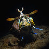 "Step 5: The Mantis Shrimp began tugging on the bait.<br /> Hemisquilla californiensis, Mantis ""Shrimp""<br /> Willow Cove, Catalina Island, California<br /> January 9, 2021"