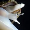 Snail: Mitra idae, Ida's Miter<br /> Pt. Vicente, Palos Verdes, California