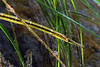 Syngnathus, Pipefish<br /> Willow Cove, Catalina Island, California<br /> January 9, 2021