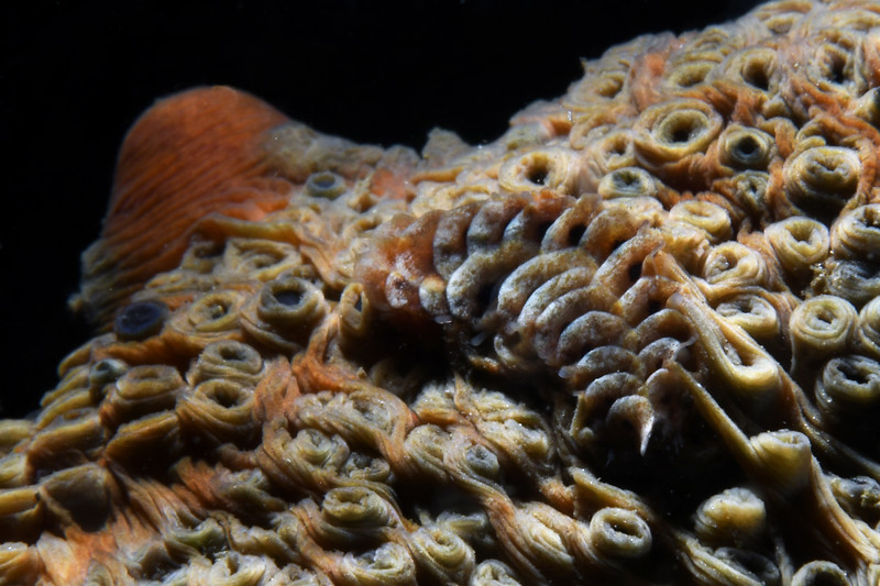 Scale Worm on ventral side of Parastichopus parvimensis, Warty Sea Cucumber<br /> Palos Verdes, California<br /> July 4, 2020