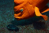 Hypsypops rubicundus, Garibaldi, clearing out mussel from algae bed, where eggs are brooding.<br /> Eureka Oil Rig, Long Beach, California