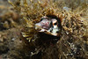 Chaenopsis alepidota, Orangethroat Pike Blenny<br /> Willow Cove, Catalina Island, California<br /> November 29, 2020