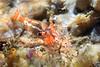 Shrimp: Eualus subtilis<br /> Found under a rock<br /> Whale Rock, Palos Verdes, California<br /> September 22, 2020<br /> ID thanks to Gregory Jensen