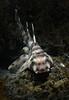 Heterodontus francisci, Horn Shark, shot with snoot.<br /> Willow Cove, Catalina Island, California<br /> January 9, 2021