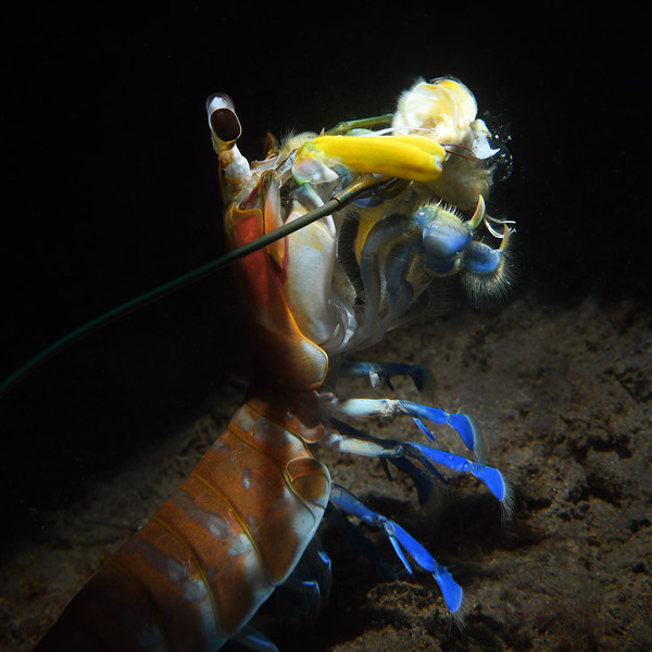 """Step 7:  I arrested the Mantis Shrimp's forward motion, and it began to pull harder on the bait.<br /> Hemisquilla californiensis, Mantis """"Shrimp""""<br /> Willow Cove, Catalina Island, California<br /> January 9, 2021"""