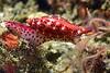 Simnia arcuata<br /> Golfball Reef, Redondo Beach, CA