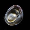 Mollusc: Ventral perspective<br /> Stearns Wharf, Santa Barbara, California<br /> July 19, 2020