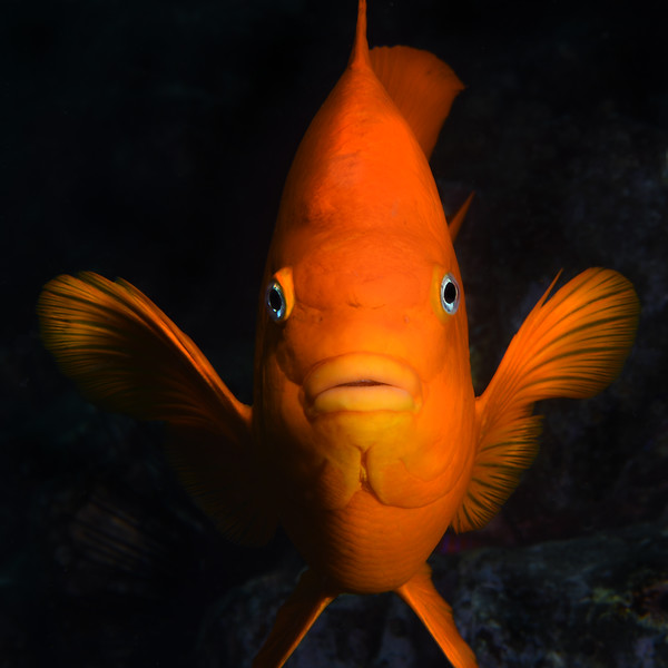 Hypsypops rubincundus, Garibaldi<br /> Isthmus Reef, Catalina Island, California<br /> November 29, 2020