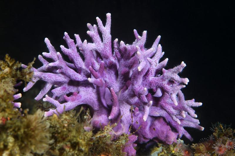 Stylaster californicus, California hydrocoral<br /> Farnsworth Bank, Catalina Island, California<br /> August 7, 2020