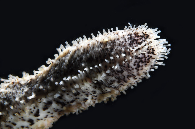 Sea Cucumber<br /> White Point Outfall Pipe, Palos Verdes, California<br /> October 4, 2020