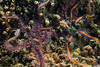 Star: Ophiothrix spiculata<br /> Biodome, Palos Verdes, California<br /> October 4, 2020