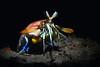 "Hemisquilla californiensis, Mantis ""Shrimp""<br /> Willow Cove, Catalina Island, California<br /> January 9, 2021"