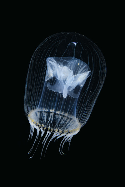 Jelly: ID needed<br /> Open water diving, 7 miles off southern California coast.<br /> March 18, 2021