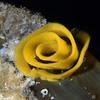 Nudibranch eggs on Swell Shark egg case<br /> Garden Spot, Palos Verdes, California<br /> August 1, 2020