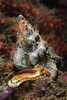 Snail: Kelletia kelletii, Kellet's Whelk<br /> Palos Verdes, California<br /> August 1, 2020