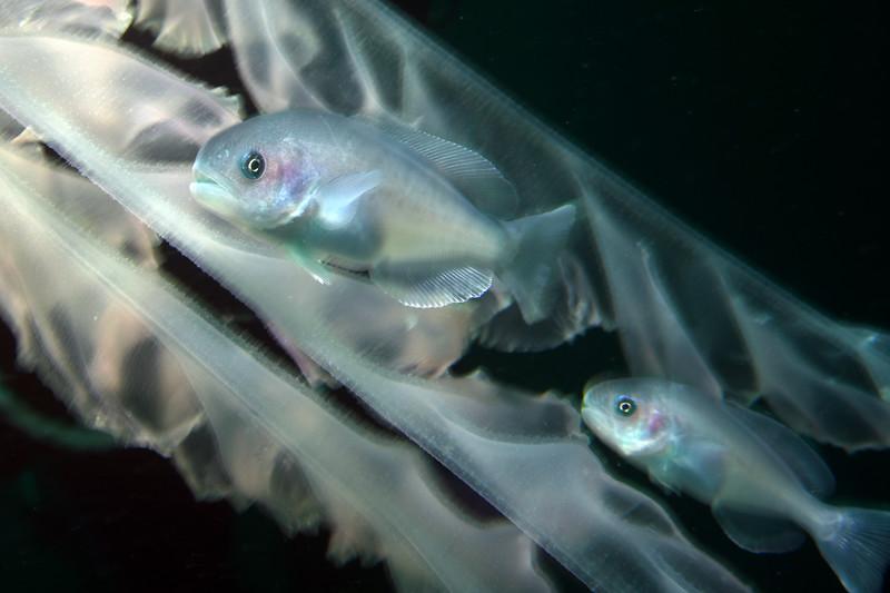 Icichthys lockingtoni, Medusafish<br /> Catalina Channel<br /> March 14, 2021