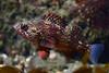 Sebastes miniatus, Vermilion Rockfish, juvenile<br /> Golfball Reef, Redondo Beach, CA