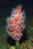 Corynactis californica<br /> The Barge, Redondo Beach, California
