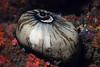 Limpet: Megathura crenulata, Giant Keyhole Limpet<br /> T-Rex, Pt. Loma, California
