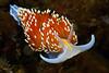 Crassicornis opalesensce<br /> Golfball Reef, Redondo Beach, CA