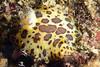 Jorruna pardis<br /> Kevin's Reef North, Palos Verdes, California