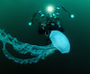 Jelly: Chrysaora colorata, Purple Jelly, with Mike Bartick<br /> Catalina Channel<br /> March 14, 2021