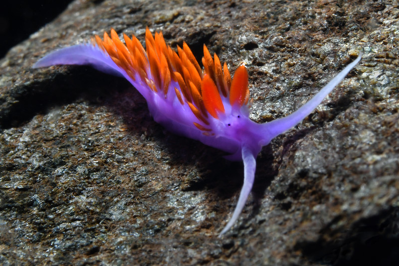 Flabellinopsis iodinea, Spanish Shawl<br /> Whale Rock, Palos Verdes, California<br /> September 22, 2020