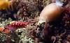 Simnia arcuata & Doriopsilla fulva<br /> Golfball Reef, Redondo Beach, CA
