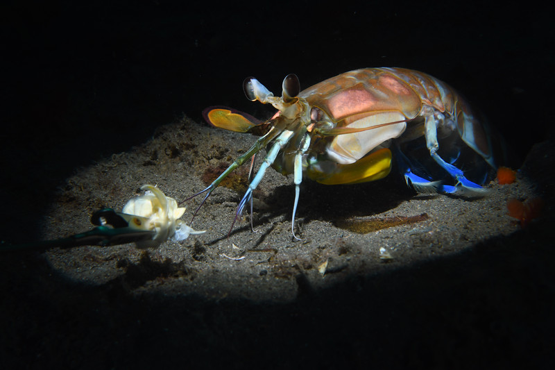 """Step 2: Allow the Mantis Shrimp to """"feel"""" and """"taste"""" the bait with its antennules, slowly drawing out the animal. If the bait is pulled away too quickly, the Mantis Shrimp is likely to return to its hole.<br /> Hemisquilla californiensis, Mantis """"Shrimp""""<br /> Willow Cove, Catalina Island, California<br /> January 9, 2021"""