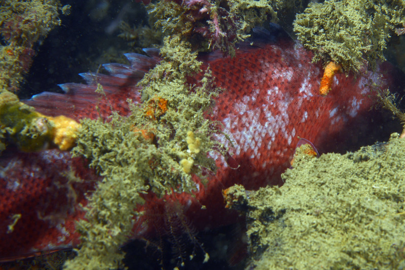 Female Sheephead, with night-time camouflage coloration<br /> Garden Spot, Palos Verdes, California