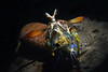 """Step 4: At this point, about a yard from its hole, I allowed the Mantis Shrimp to completely grasp the bait.<br /> Hemisquilla californiensis, Mantis """"Shrimp""""<br /> Willow Cove, Catalina Island, California<br /> January 9, 2021"""