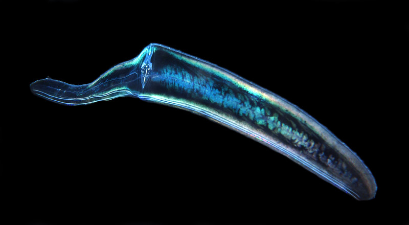 Cestum veneris, Venus Girdle, comb jelly<br /> Open water diving, 7 miles off southern California coast.<br /> March 18, 2021
