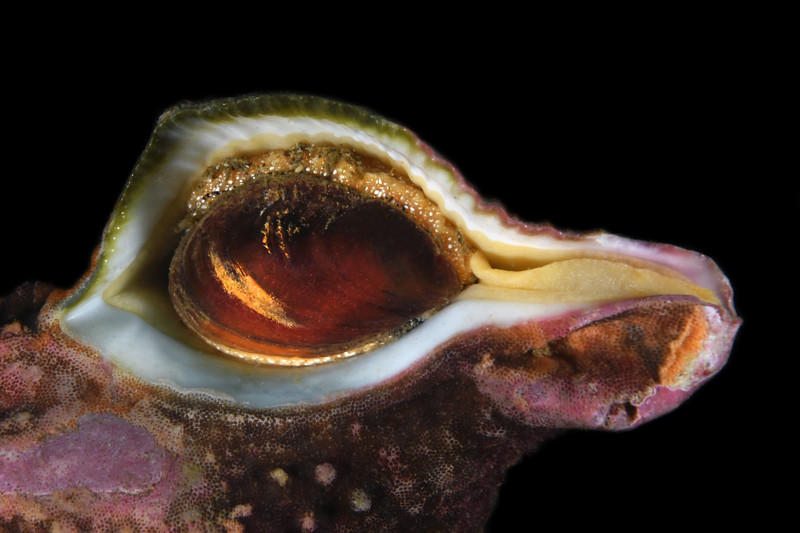 Bird? Kellet's Whelk operculum<br /> Palos Verdes, California<br /> July 4, 2020