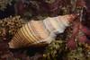Snail: Megasurcula carpenteria, Carpenter's Turrid<br /> Palos Verdes, California