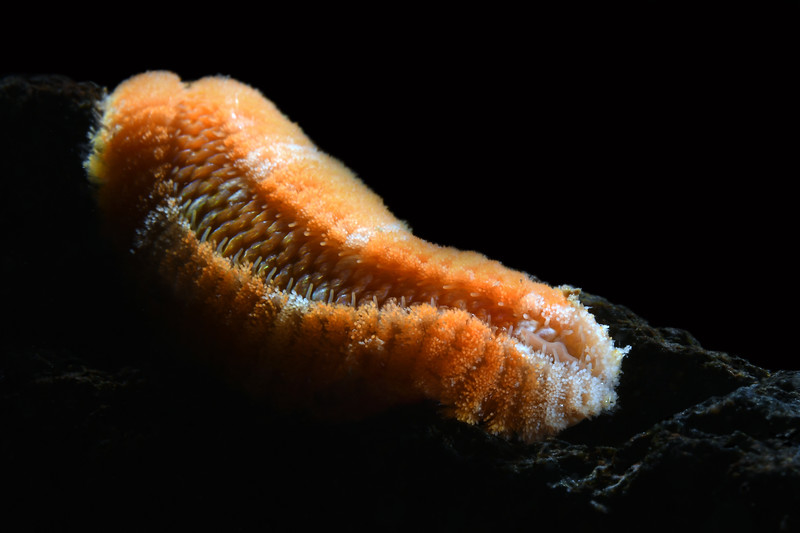 Euphronsine worm<br /> White Point Outfall Pipe, Palos Verdes, California<br /> October 4, 2020