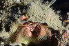 Crab: Paguristes ulreyi<br /> The Barge, Redondo Beach, California